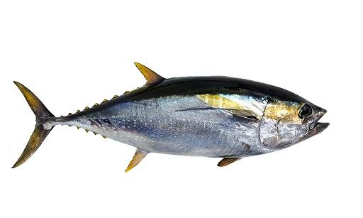 Atun-aleta-amarilla-1